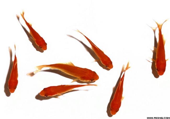 鲜活鲤鱼psd分层素材 - 爱图网设计图片素材下载