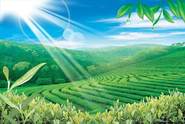清新茶园风景 茶园风景图片 清新茶园图片素材 宽幅绿茶风景图片素材