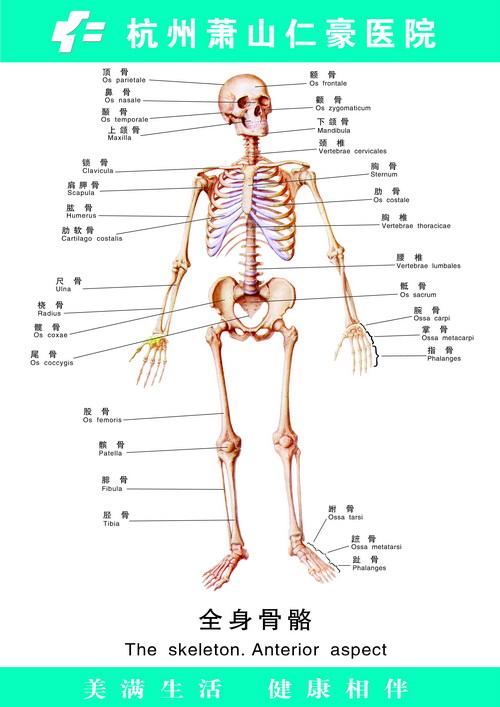 女人骨架结构图
