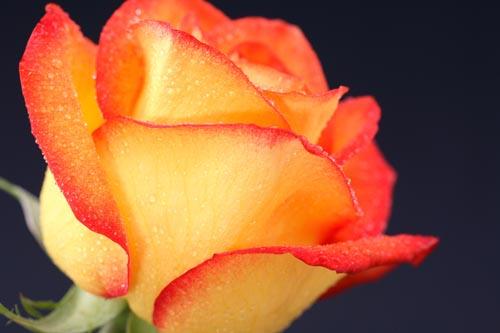 可爱的一朵玫瑰花简谱,可爱的一朵玫瑰花原唱,一朵白玫瑰花,头像