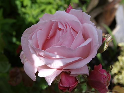滴水玫瑰花壁纸
