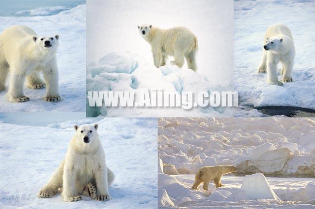 素材 设计 壁纸图片 北极熊/北极熊高清图片...