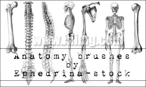 人体骨骼笔刷 - 爱图网设计图片素材下载