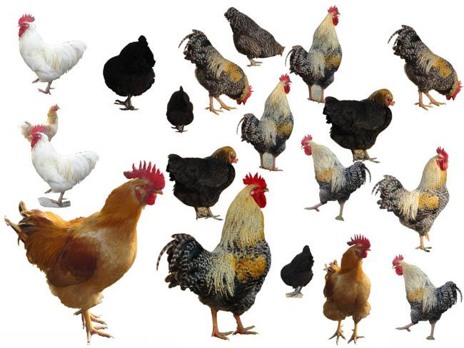 鸡psd素材 - 爱图网设计图片素材下载